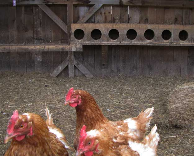 Each nesting box is the recommended size to provide comfort and security for your hens.